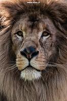 Touroparc Zoo - Major, the lion