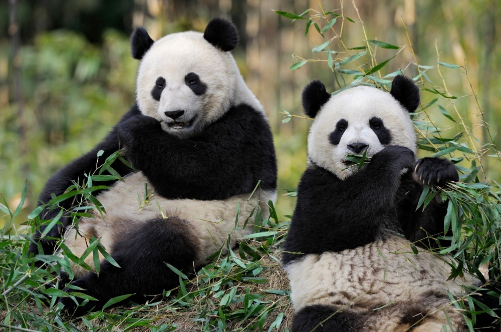 Zooparc hotels of beauval - pandas