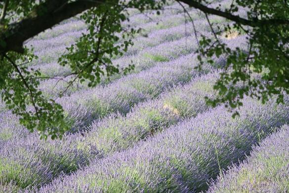 Lavendel Essentials - die Felder des Anwesens rundum